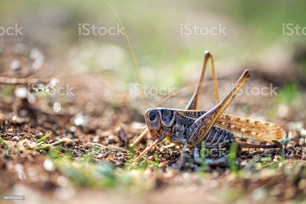 Gray grasshoper macro - selective focus, copy space stock photo