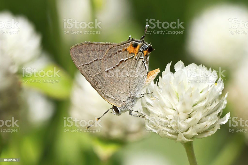 Gray Hairstreak butterfly perched on white flower royalty-free stock photo