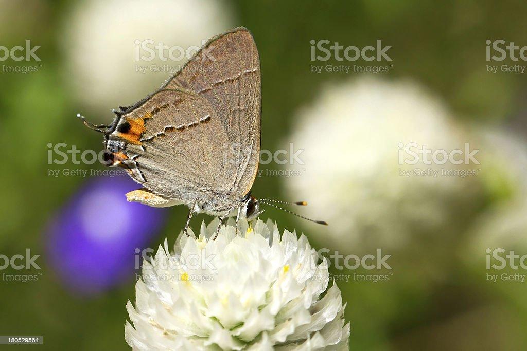 Gray Hairstreak butterfly royalty-free stock photo