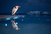 Gray heron on the edge of an infinity pool at Maldives. Copy space.