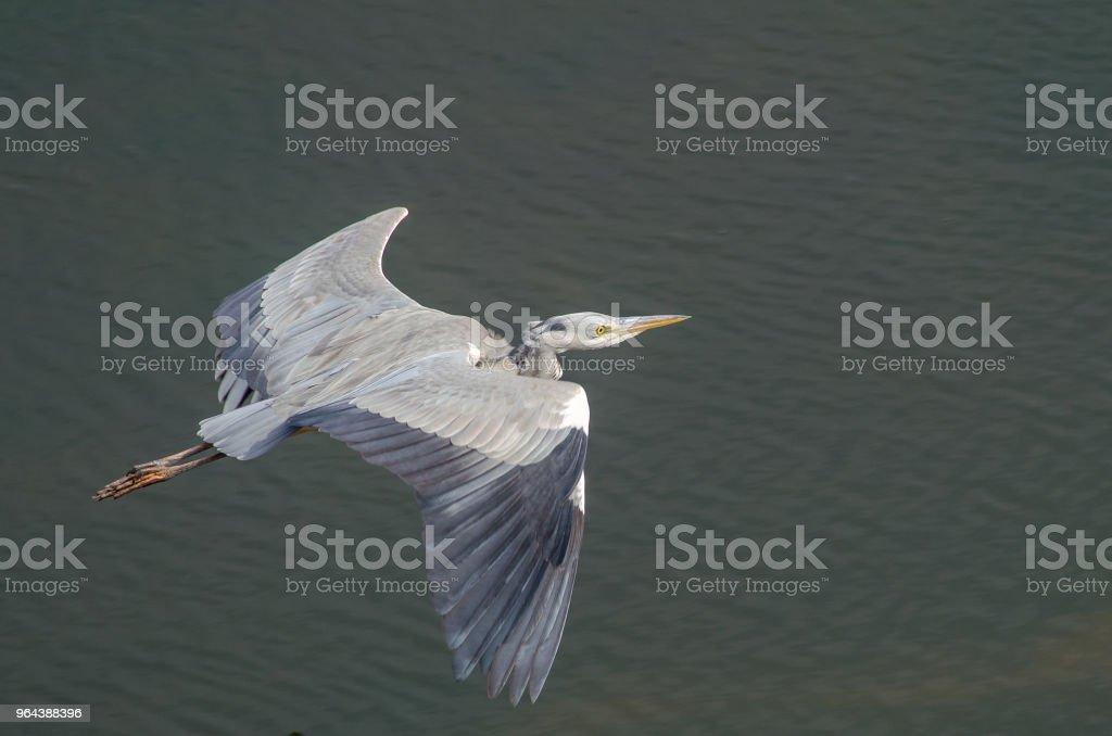 Grijze heron vliegen over donker water - Royalty-free Afrika Stockfoto