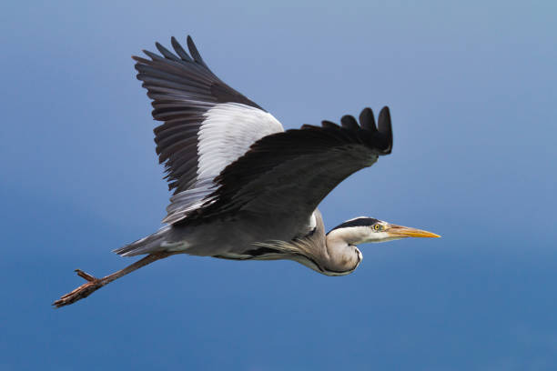 Gray heron in flight over a blue sky. stock photo