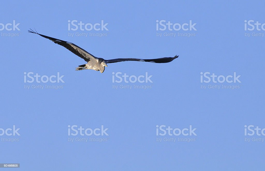 Gray Heron in fligth royalty-free stock photo
