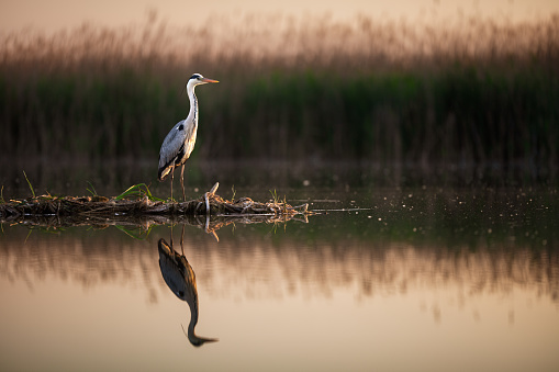 Gray heron standing in wilderness at a pond. His reflection is seen in water.