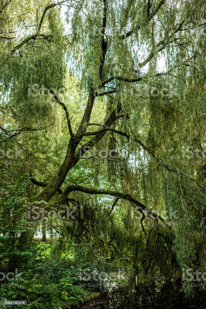 Gray Heron is camoflauged, perching in a tall weeping willow tree in a park stock photo