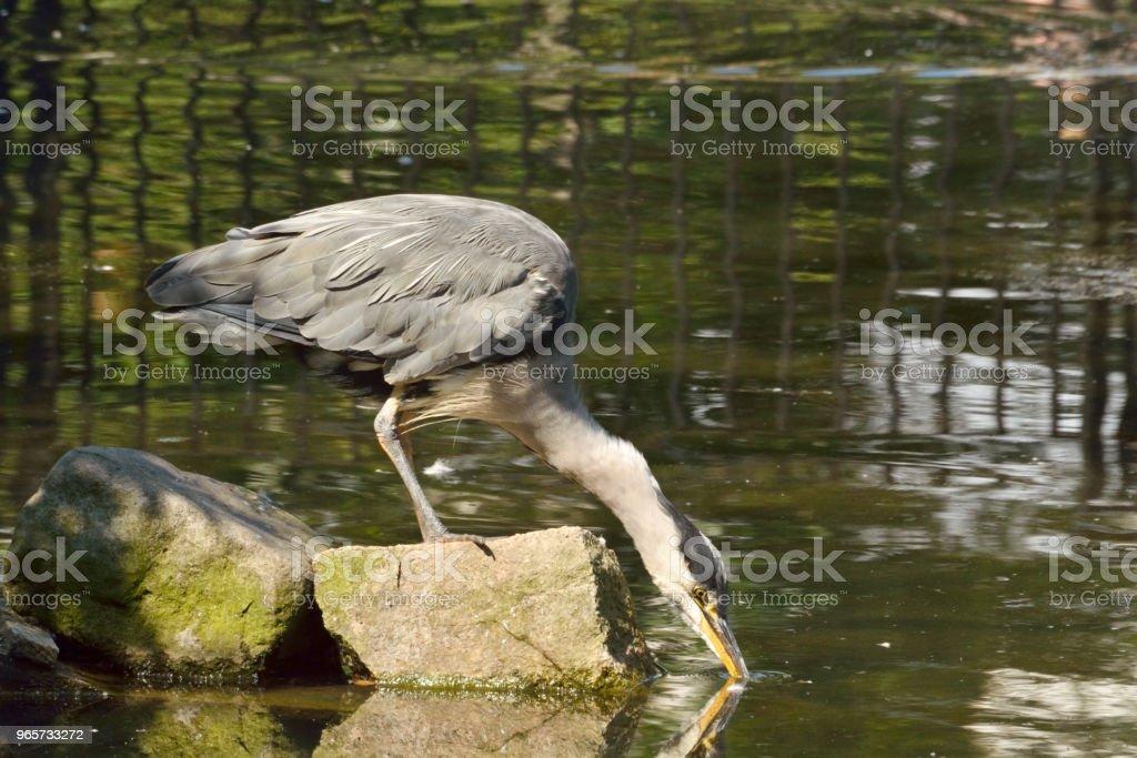 Grijze heron zitstokken op rots drinkt water uit de vijver. - Royalty-free Buitenopname Stockfoto
