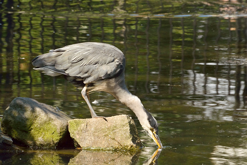 Grijze Heron Zitstokken Op Rots Drinkt Water Uit De Vijver Stockfoto en meer beelden van Buitenopname