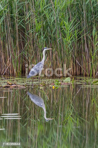 natural gray heron (ardea cinerea) reflected on water surface with reed