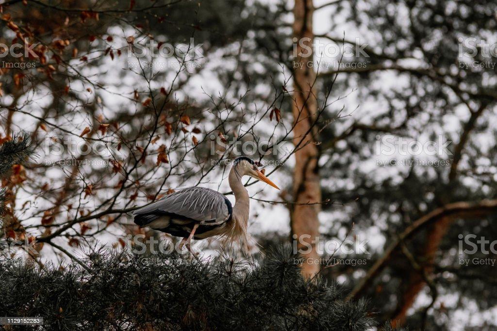 gray heron sitting on a tree – zdjęcie