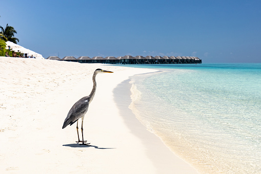 Gray heron standing on the beach in summer day at Maldives. Copy space.