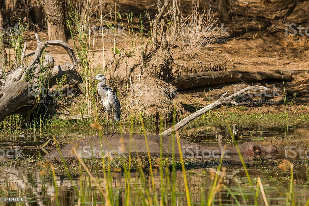 gray heron standing on the back of hippopotamus stock photo