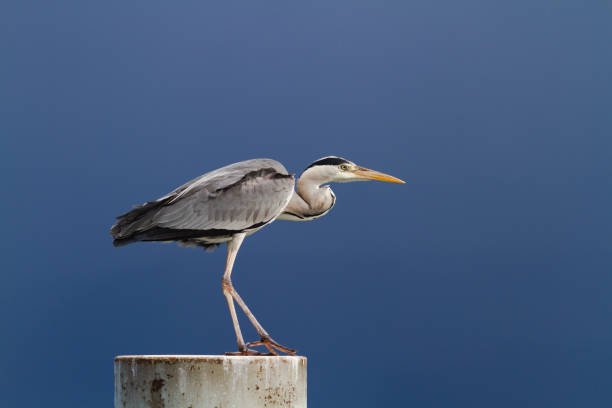 Gray heron standing over a blue sky. stock photo