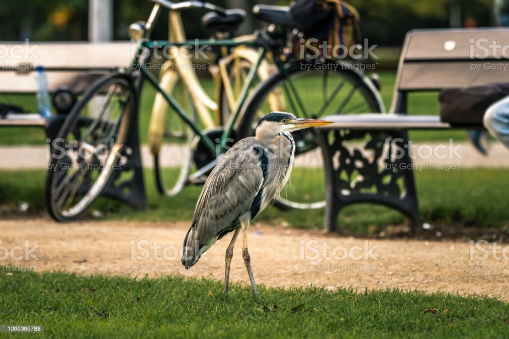 Gray Heron stands next to a dirt footpath in a public park stock photo