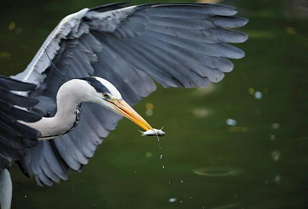 gray heron with fish stock photo