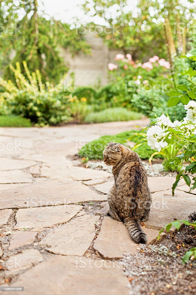 Gray home exotic shorthair tabby cat sitting royalty-free stock photo