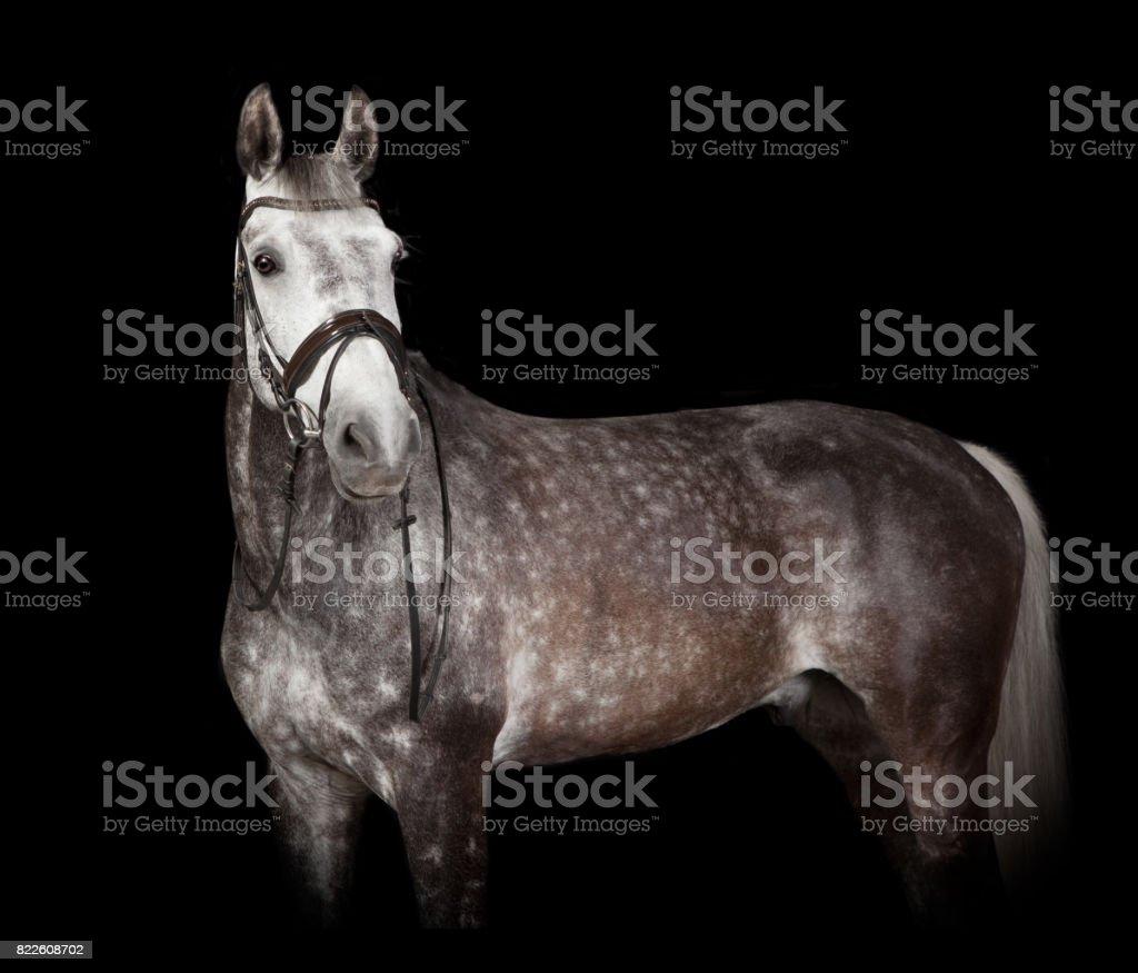 gray horse against black background stock photo