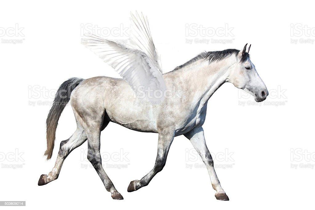 Gray horse pegasus trotting isolated on white stock photo