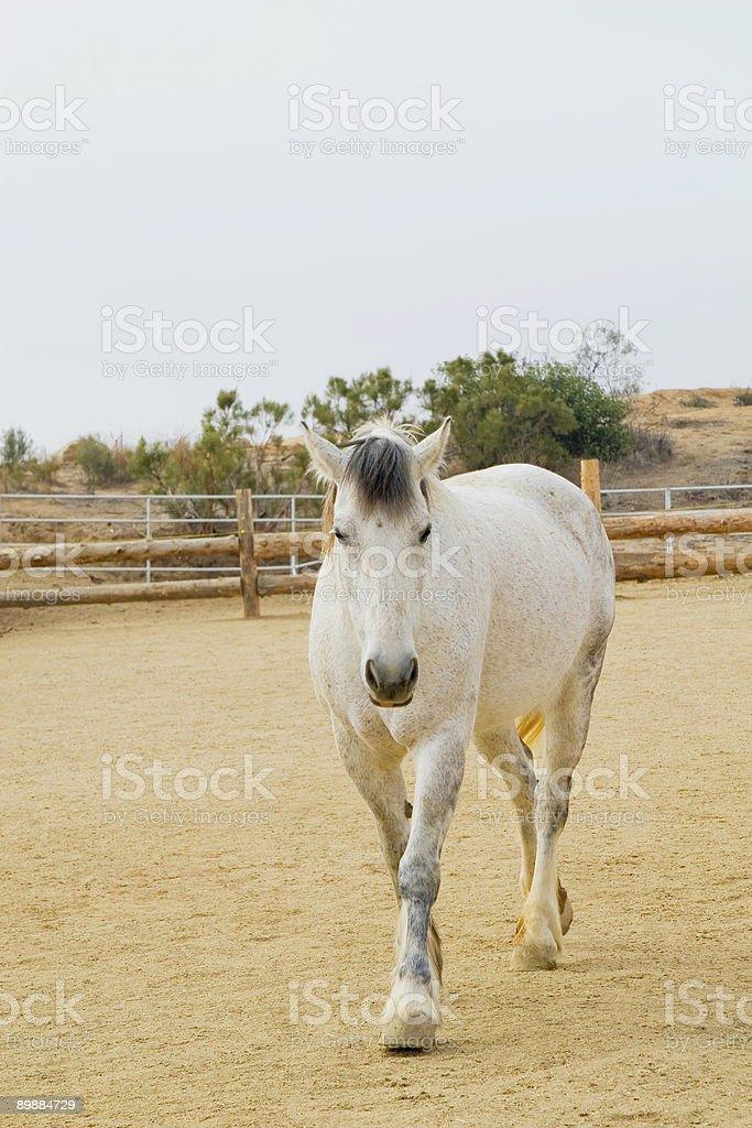 Gray caballo foto de stock libre de derechos