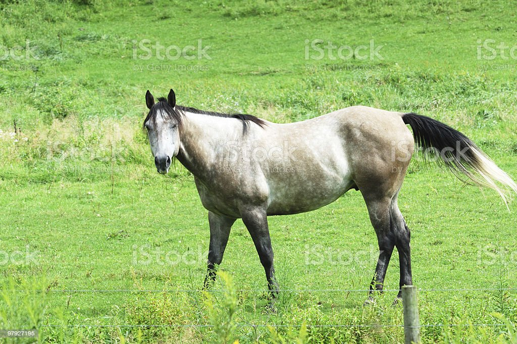 Gray Horse royalty-free stock photo