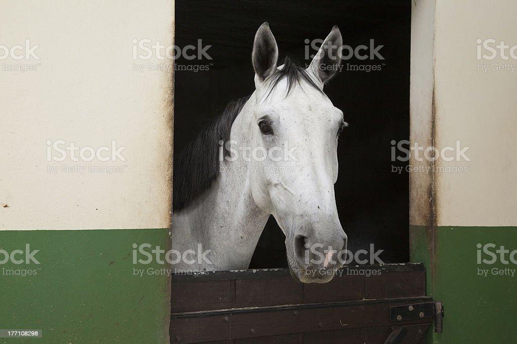Gray Horse Portrait stock photo