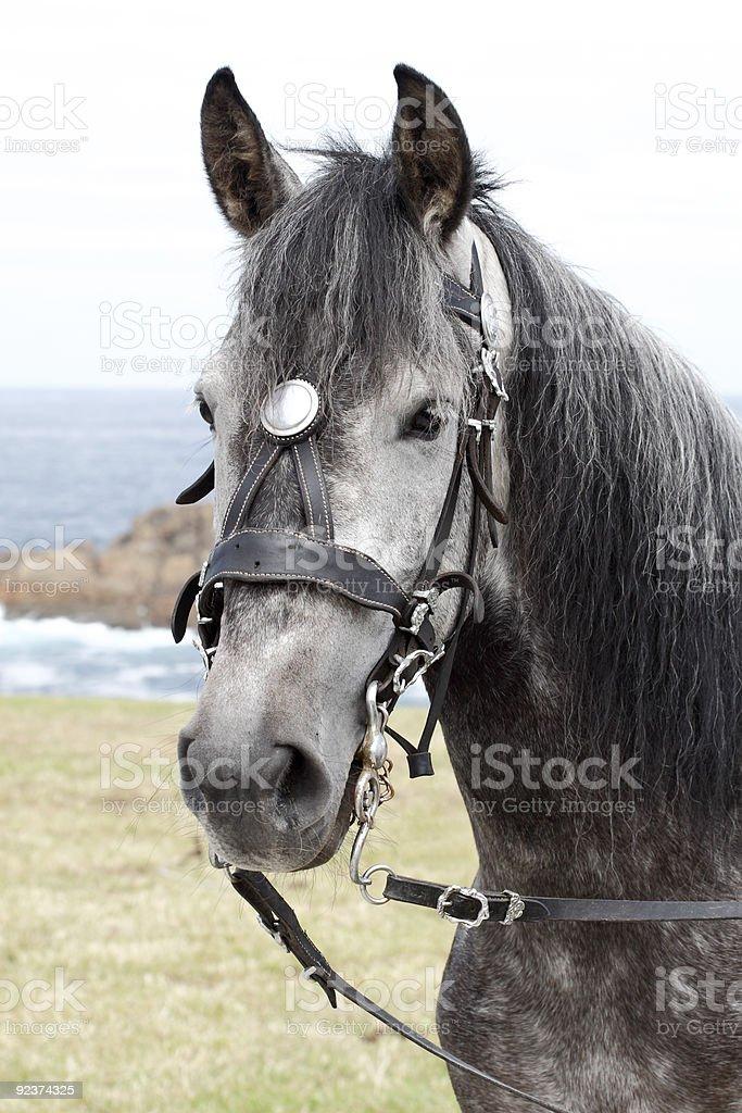 Gray horse portrait royalty-free stock photo