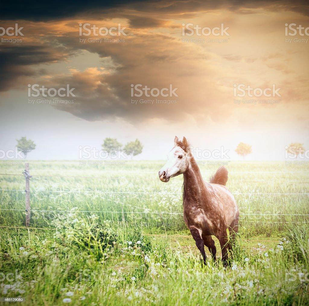 Gray horse running on green summer  grassland over beautiful sky stock photo