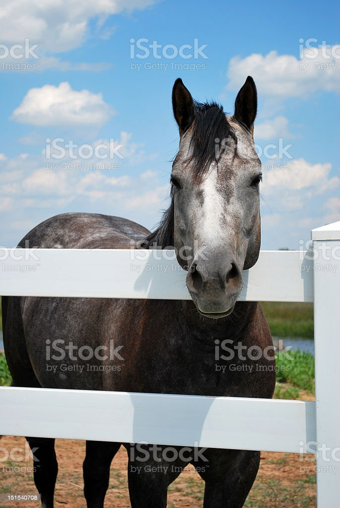Gray Horse Standing Next to White Fence royalty-free stock photo