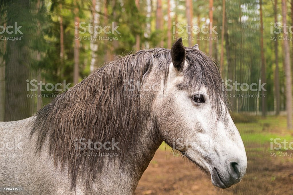 gray horse with long mane, profile of an animal, against a background of a green forest close-up stock photo