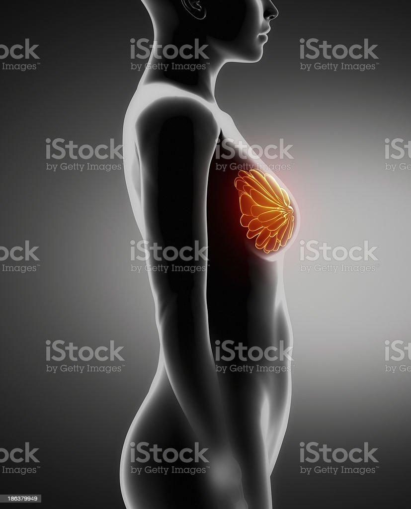 Weibliche Anatomie Xray Links Auf Der Brust - Stockfoto | iStock