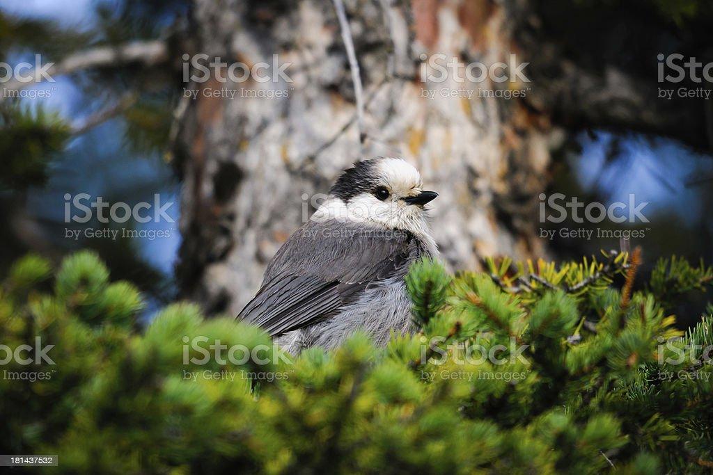 Gray Jay (Perisoreus canadensis) royalty-free stock photo