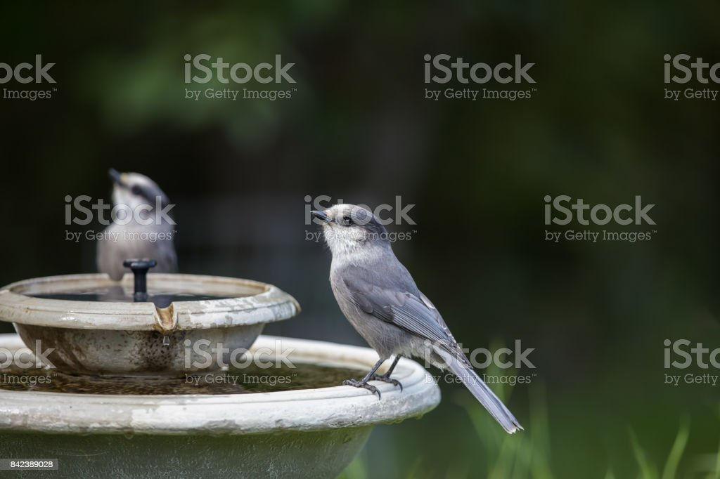 Gray Jays at the Birdbath stock photo