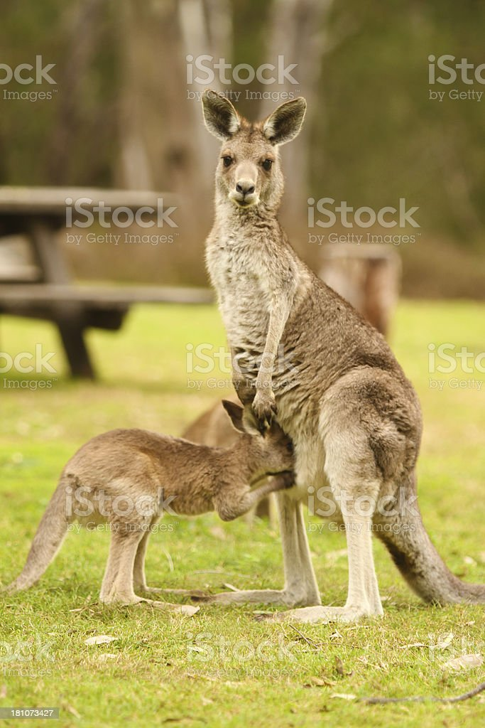 Gray Kangaroo and Joey stock photo