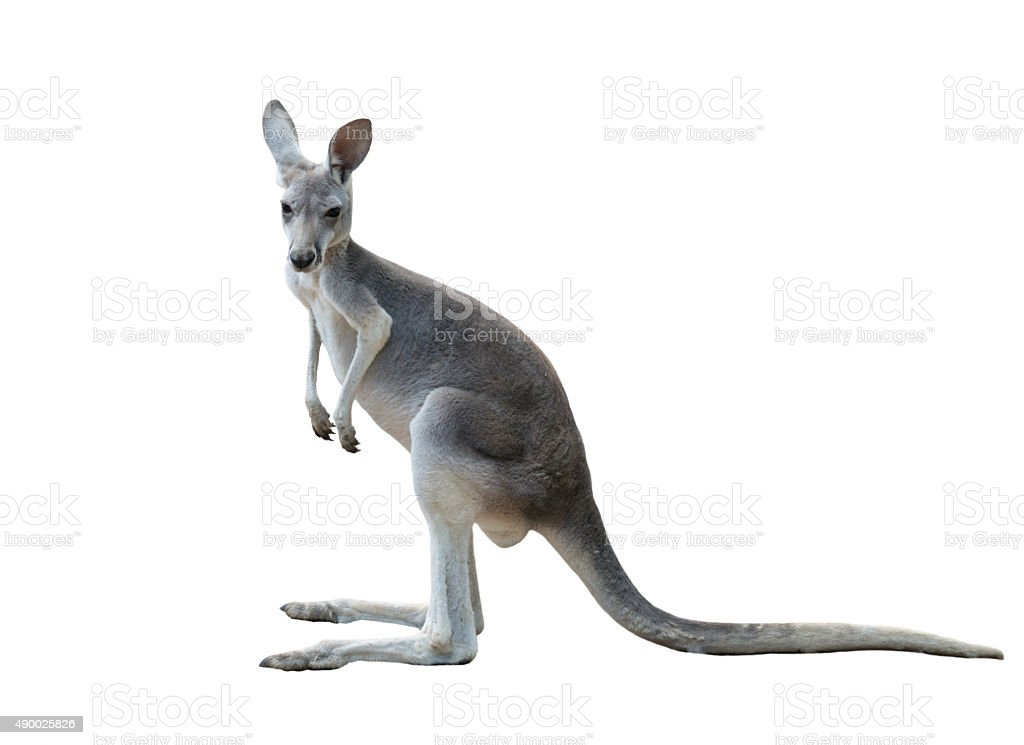 gray kangaroo isolated stock photo