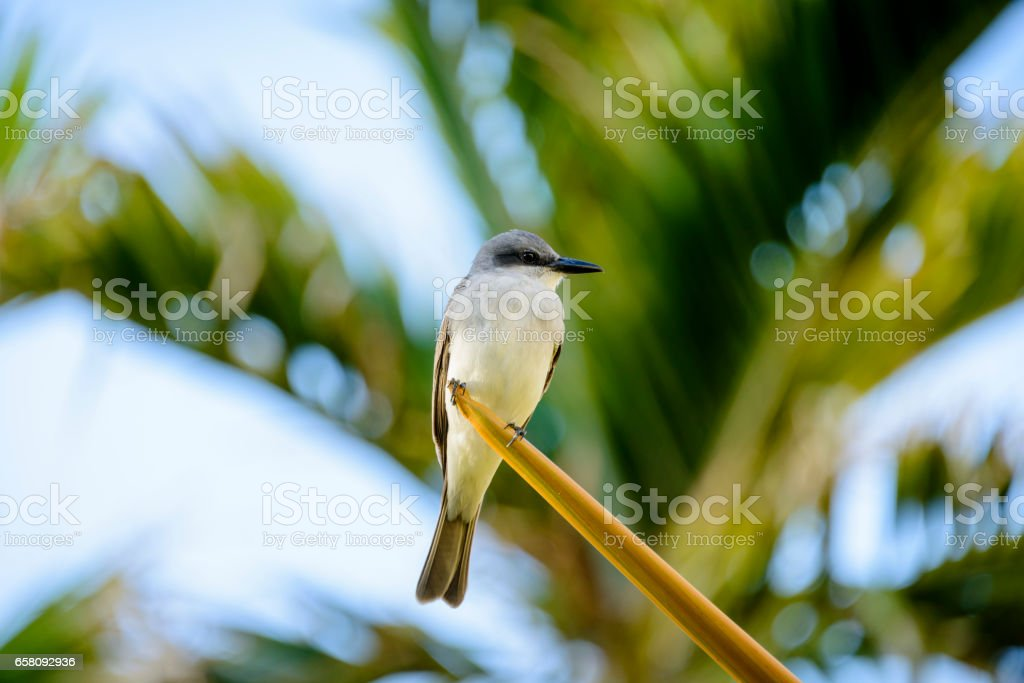 Gray Kingbird with palm fronds in the background. royalty-free stock photo