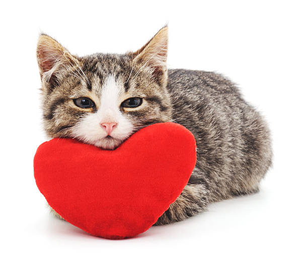 Gray kitten and red heart. Gray kitten and red heart isolated on a white background. animal valentine stock pictures, royalty-free photos & images