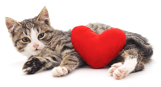 Gray kitten and red heart picture id624655420?b=1&k=6&m=624655420&s=612x612&w=0&h=dgoj8otdgmm6ydg5z7svnt5oiijr fuv4jytgpr7f9q=