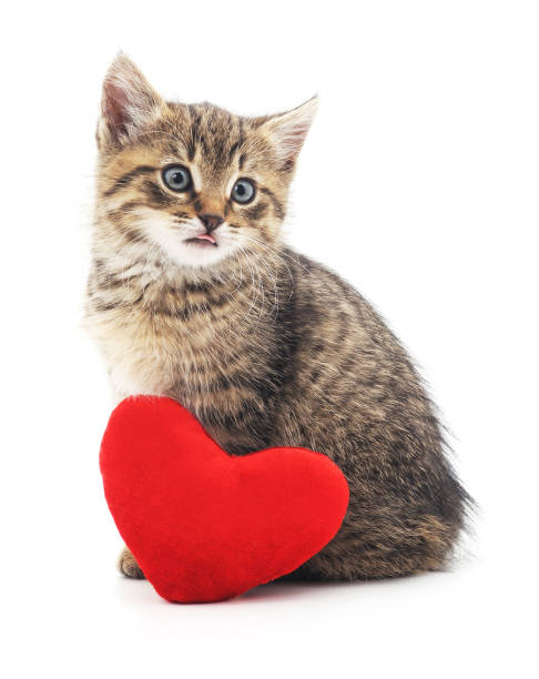 Gray kitten and red heart. Gray kitten and red heart isolated on a white background. kitten cute valentines day domestic cat stock pictures, royalty-free photos & images