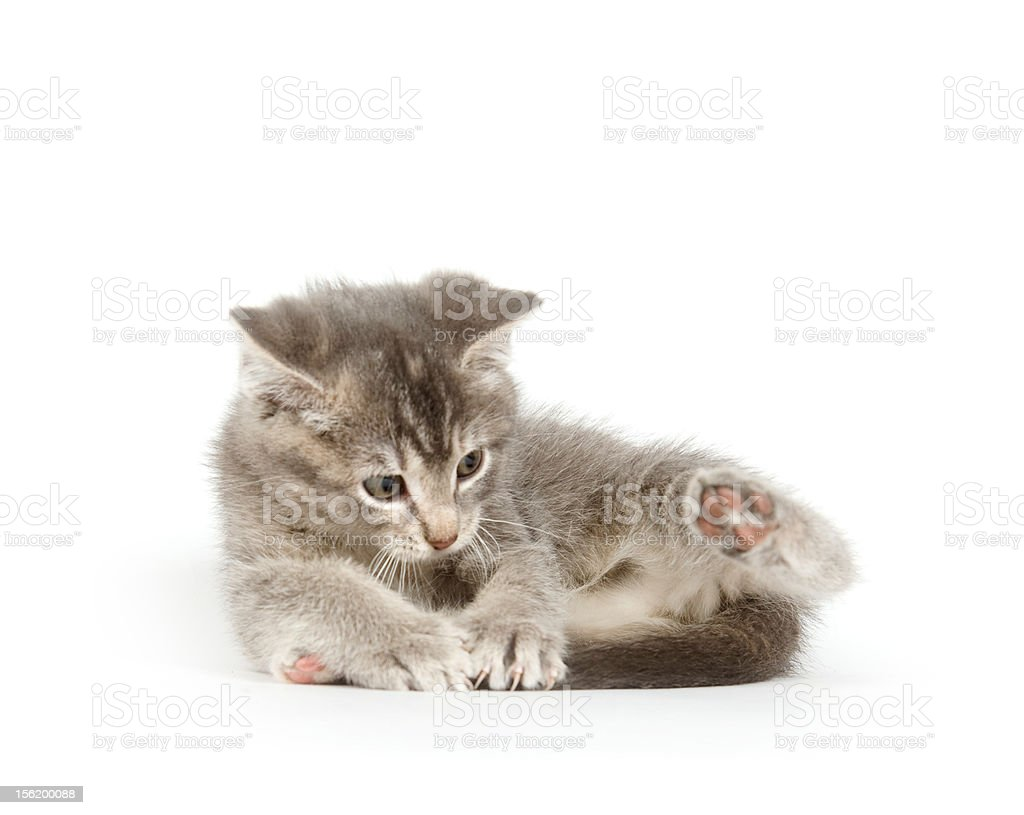 Gray kitten chasing tail on white stock photo