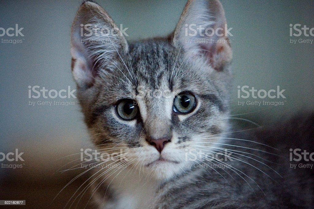 Gray kitten face stock photo