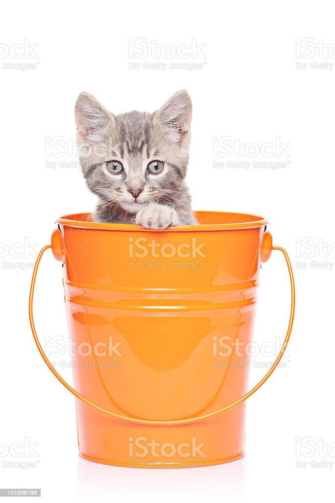 Gray kitten in a bucket royalty-free stock photo