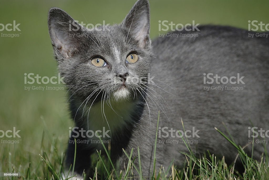 Gray kitten in grass royalty-free stock photo