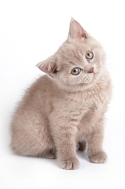 Gray kitten looking at the camera picture id488507184?b=1&k=6&m=488507184&s=612x612&w=0&h=jvnw nuruq4t6vl oiqbi2wrnevpb6i63 wmtssmaqw=