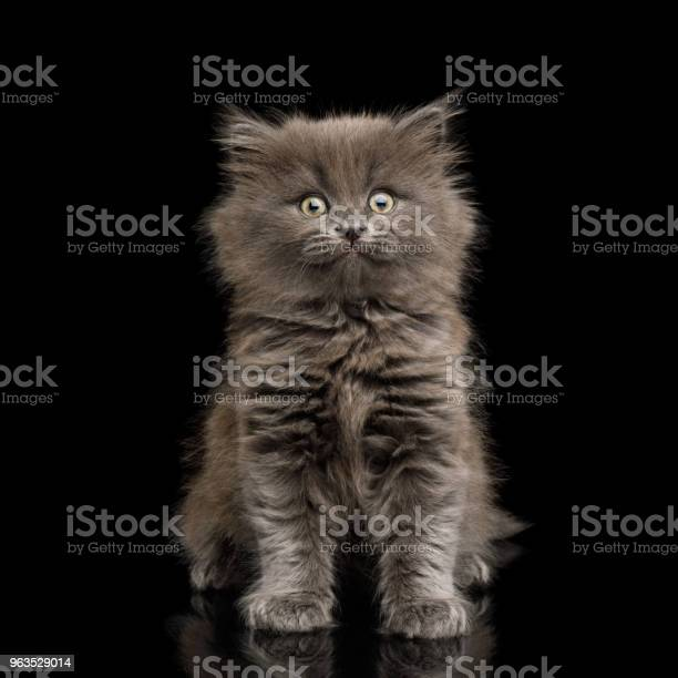 Gray kitten on black background picture id963529014?b=1&k=6&m=963529014&s=612x612&h=rzwfzirso5ittjrsr4hqgf0ovuyw4vpqtr nek0zhhm=