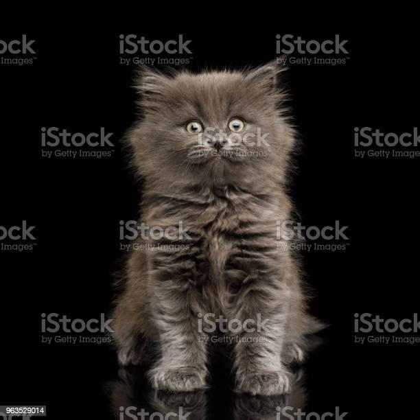 Gray kitten on black background picture id963529014?b=1&k=6&m=963529014&s=612x612&h=rzwfzirso5ittjrsr4hqgf0ovuyw4vpqtr nek0zhhm=