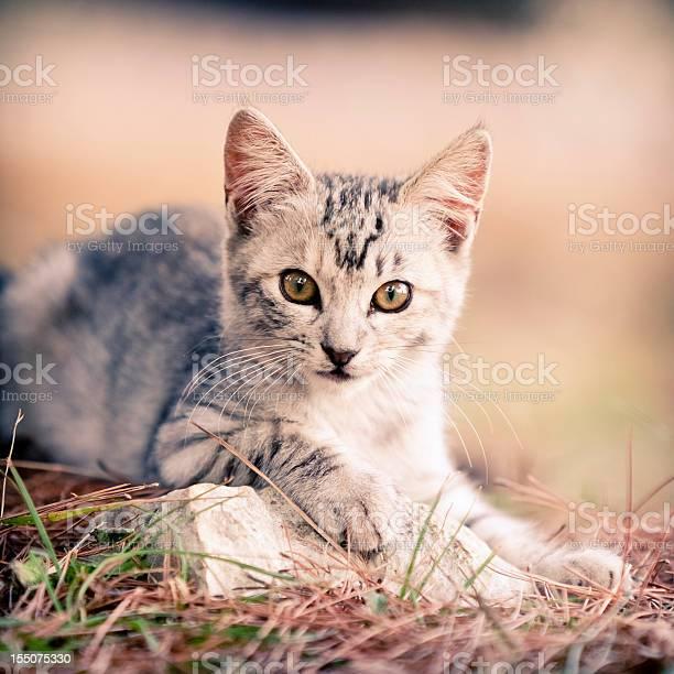 Gray kitten picture id155075330?b=1&k=6&m=155075330&s=612x612&h=07afeq3ghrord5 eh4vcm3dosxnxmx8qcdm9c8ujntq=