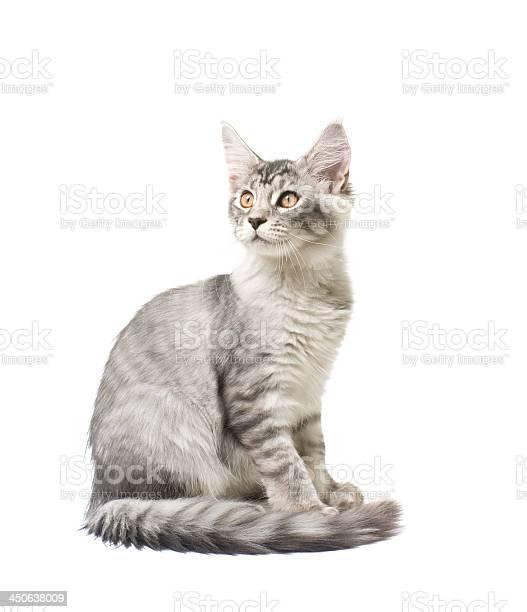 Gray kitten picture id450638009?b=1&k=6&m=450638009&s=612x612&h=1bc9m0txajfpxw5yddz5 cd2rt iycz6f8k9v0s9u2u=