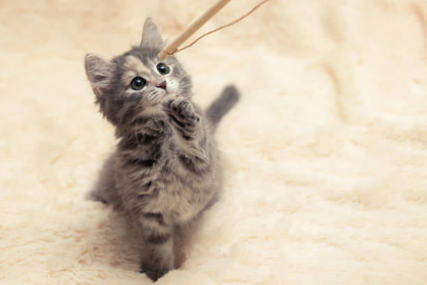 Gray kitten plays on a fur blanket with a toy on a rope copy space picture id1225902764?b=1&k=6&m=1225902764&s=612x612&w=0&h=7ufqz28izp1ipomrehwcconoonufsppwzwhpjytjrig=