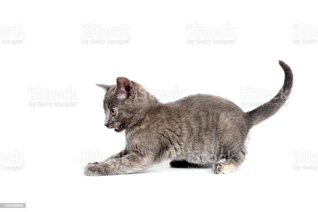 gray kitten pouncing stock photo