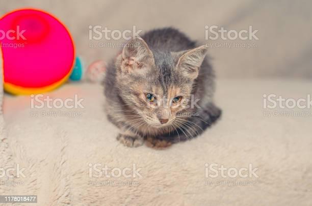 Gray kitten sitting on the sofa picture id1178018477?b=1&k=6&m=1178018477&s=612x612&h=vla1e2p9yeqsjry7w kz4 rm8g6erlv002qpgujjzlo=