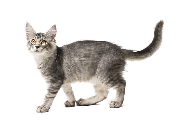 gray kitten walks stock photo
